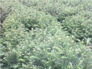 大量供應杉木苗