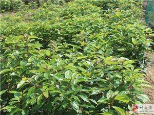 大量供應香樟苗