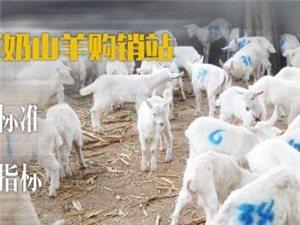 收售各種奶山羊及供應閻良區燒烤用肉 活羊現宰