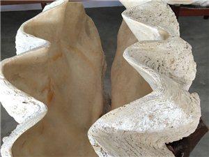 海南砗磲原料原贝加工