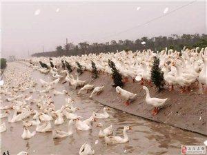 长期供应千亩苗林散养鹅原生态商品鹅蛋和种蛋