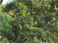 精品树桩出售