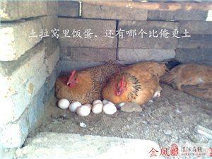 林下放养-柴鸡蛋
