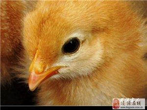 出售 鸡雏 鸭雏 鹅雏