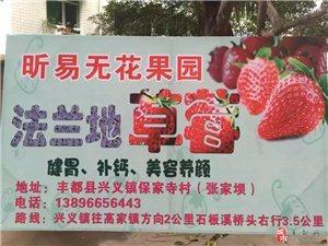 吃货的福利,昕易无花果园的草莓红了