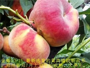 发展精品采摘园首选中蟠17桃苗黄金巨蟠桃苗各种蟠桃