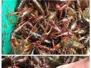 本鱼行经营各种淡水鱼,花甲.去尾螺蛳,各种规格龙虾