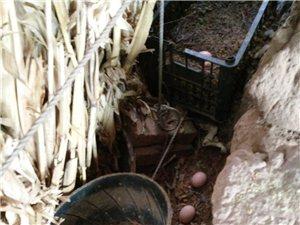 自己本地鸡牧场出售本地鸡鸡蛋质量保证