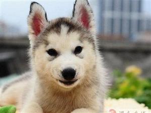 帅气活泼的哈士奇雪橇犬狗狗,双蓝眼,三把火超赞