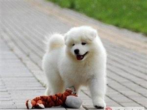 出售微笑天使萨摩耶幼犬 纯种澳版萨摩包健康