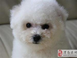 比熊宝宝 雪白色大头 卷毛 纽扣眼 保证品质