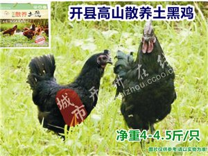 澳门银河娱乐场网址在线高山散养土鸡-土黑鸡