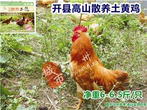 澳门银河娱乐场网址在线高山散养土鸡-土黄鸡