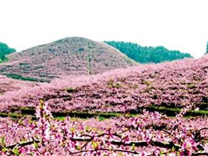 """客楼镇桃花节举办""""醉美桃花""""摄影?#28909;? width="""