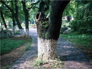 【绣家乡】周末游记,一棵寒梅岭旁路中间的树