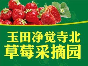 玉田净觉寺北草莓采摘园