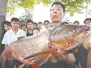 新密下牛鸿运大酒店老板费先生人鱼大战四小时钓得1.4米68斤大鱼