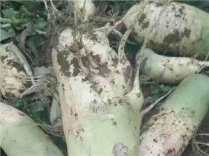 自家种植的白萝卜,欢迎采购!
